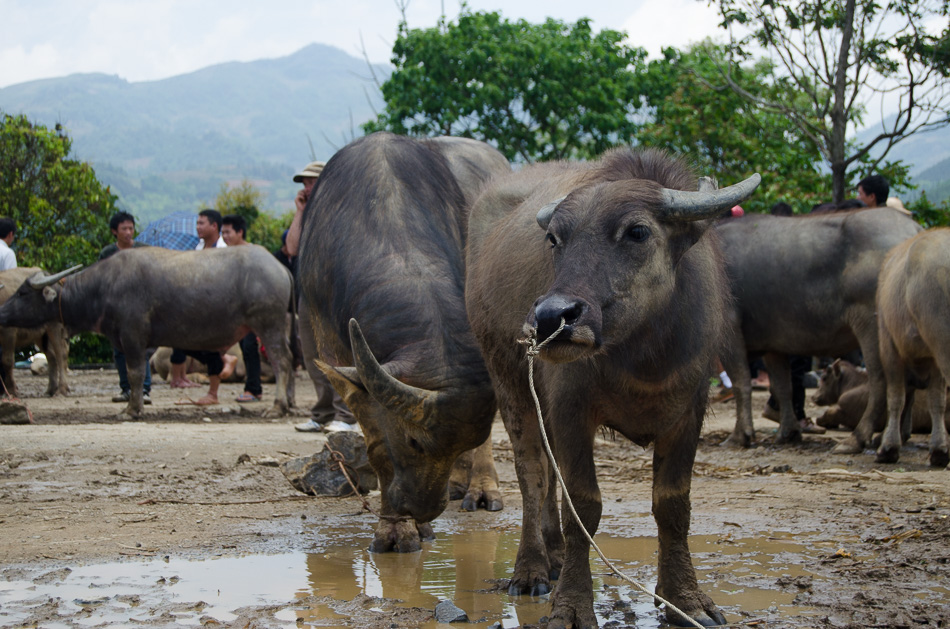 Water buffaloes at Bac Ha markets