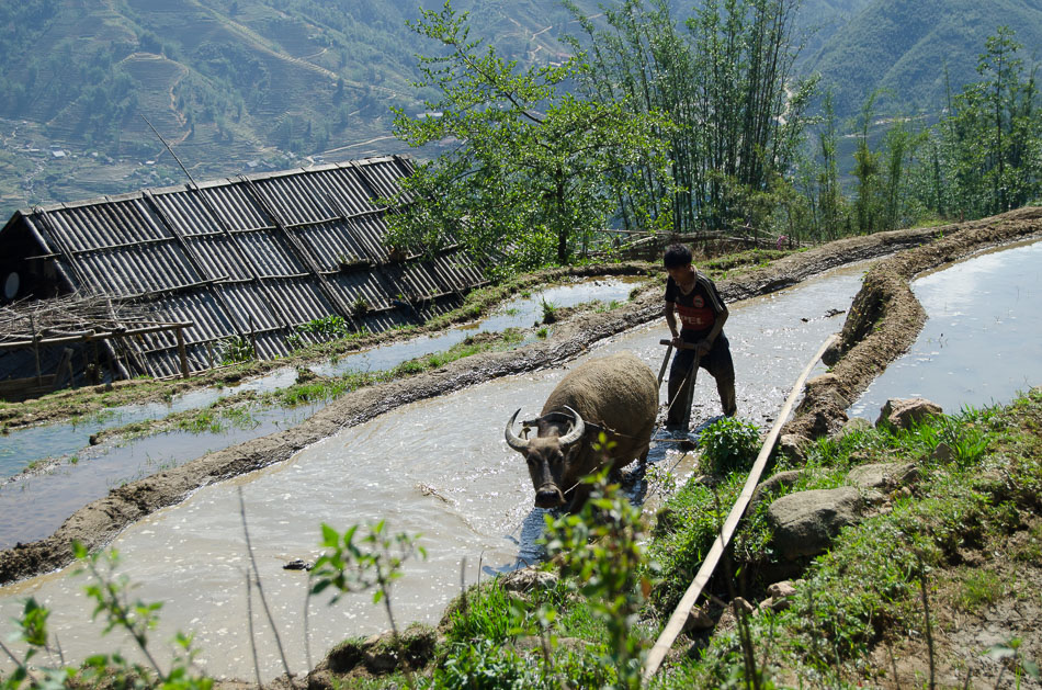 Water buffalo and farmer at a Sapa rice paddie